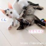 先住猫がいる状態で子猫2匹引き取りました…新しい家族を紹介します!
