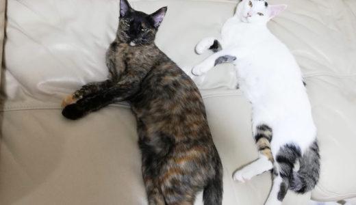 新入り猫チロとモモの動きのシンクロ率が高い…!【動画あり】