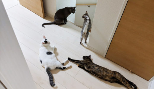 新入り猫チロとモモが来て約5ヶ月経過しました…ネコたちの上下関係はこんな感じです